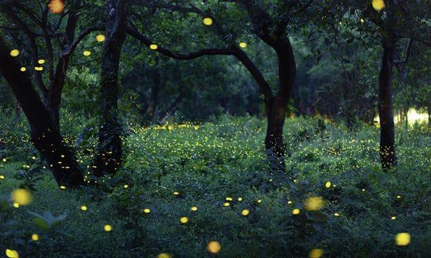 Glühwürmchen – Käfer mit magischem Liebeslicht