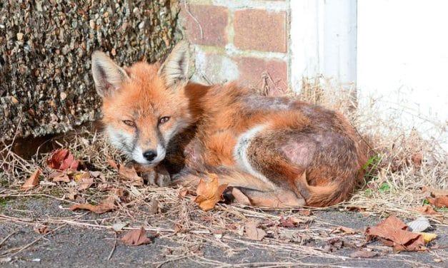 Der Fuchs im Gartenhäuschen