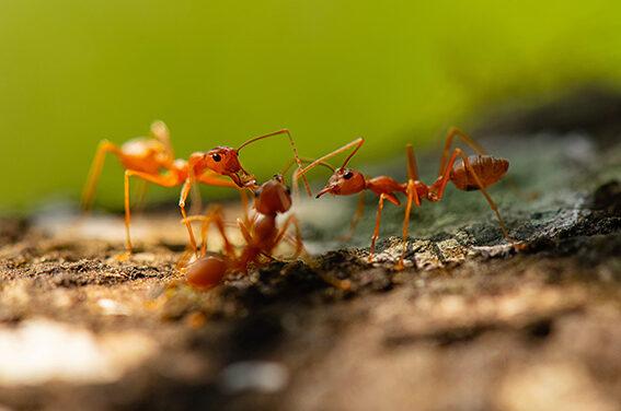 Ameisensäure, ein wahres Wundermittel in der Naturheilkunde